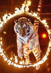 Цирковое шоу «Королевские тигры Суматры»